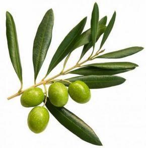 Листья оливы