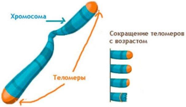 уменьшение теломеры