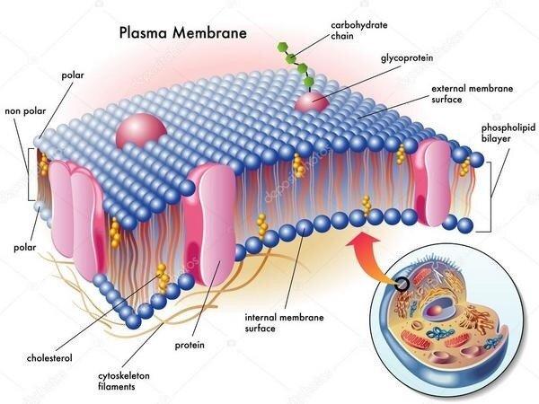 здоровье клеточной мембраны